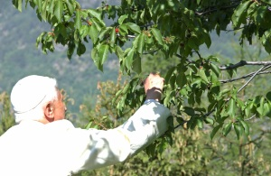 The pope picks fruit on vacation in 2006. (CNS photo/L'Osservatore Romano via Reuters)