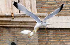 A dove released during an Angelus prayer conducted by Pope Francis, is attacked by a seagull at the Vatican