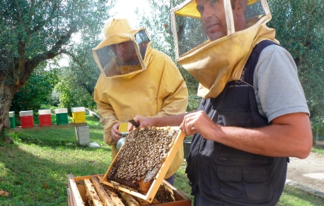 Papal beekeeper displays honeycomb covered with worker bees at papal villa at Castel Gandolfo outside Rome